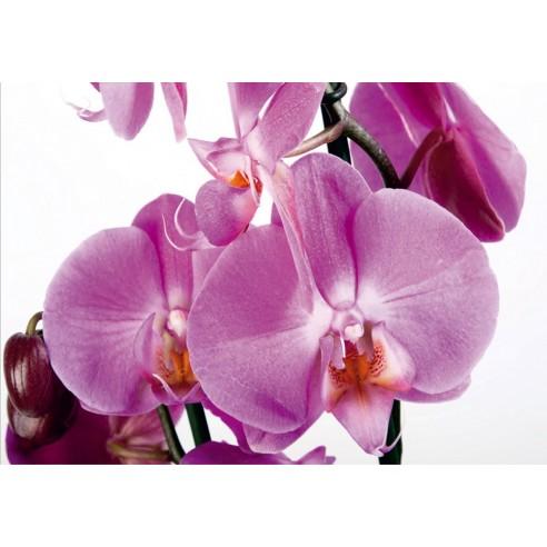Fototapet Violet Orchid Big