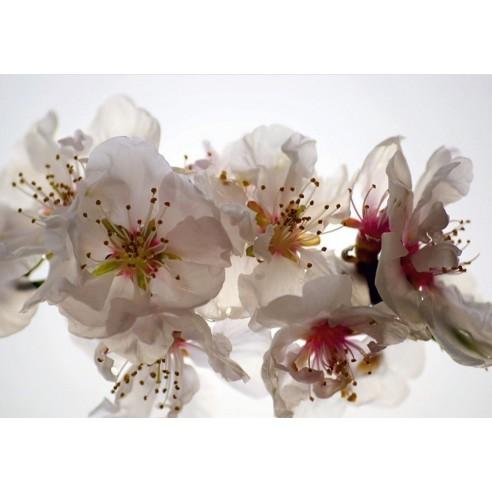 Fototapet - Orhidee albe (360x270cm)