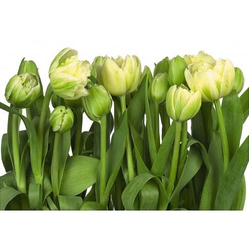 Fototapet Komar Tulips (368 x 254 cm)