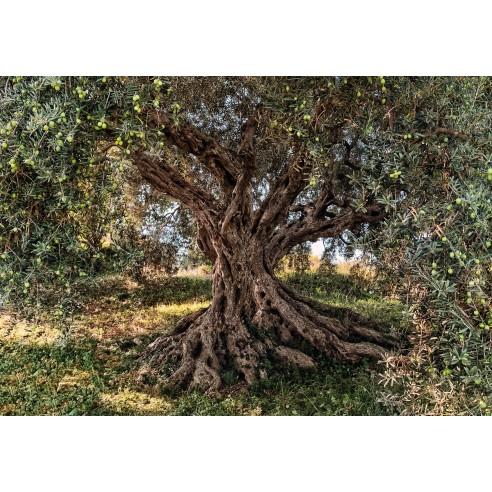 Fototapet National Geografic Olive...