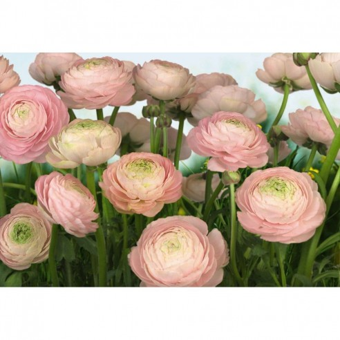 Fototapet Komar Trandafiri roz (368 x...